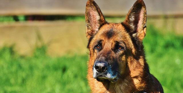 Schau zeigt die schönsten Schäferhunde der Region