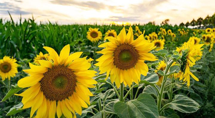 Der Zauber der Sonnenblumen