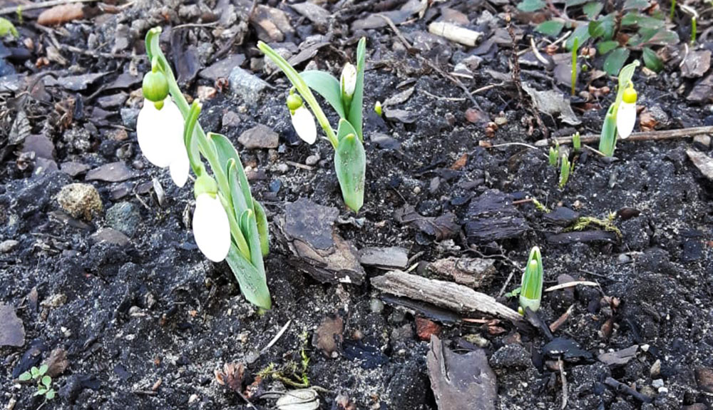 Schneeglöckchen im Januar: Stimmen sie schon das Lied vom Frühling an?