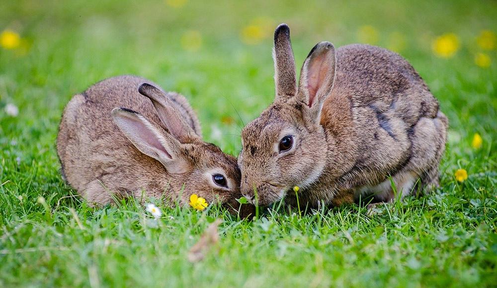 Die schönsten Kaninchen präsentieren sich in Eggesin