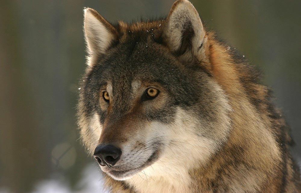 Begegnung mit einem Wolf: Was tun?